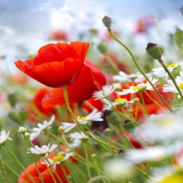 poppy-7680x4320-meadows-wildflowers-5251